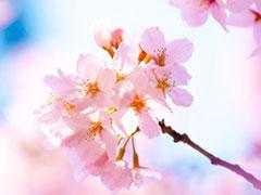 桜開花情報