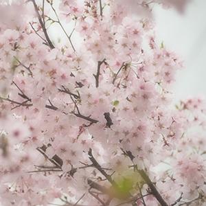 憧れの桜名所 高遠の桜は4月中旬が見頃