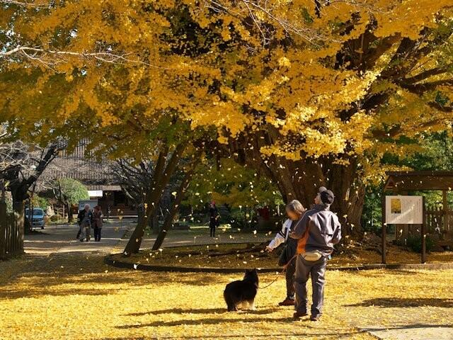 西蓮寺の大イチョウの写真