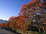 柳坂曽根の櫨並木