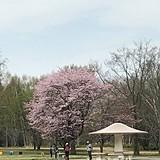 北海道立真駒内公園(エゾヤマザクラ)