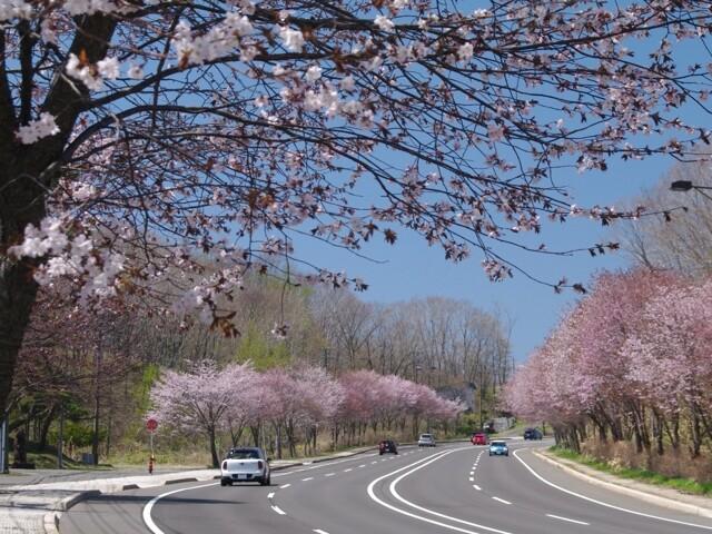 登別桜並木の写真