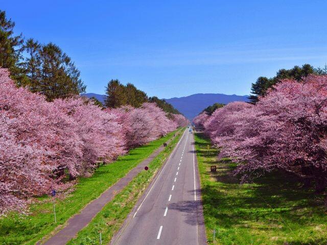 二十間道路桜並木の写真