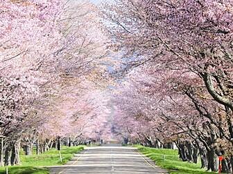 優駿さくらロード(西舎桜並木)