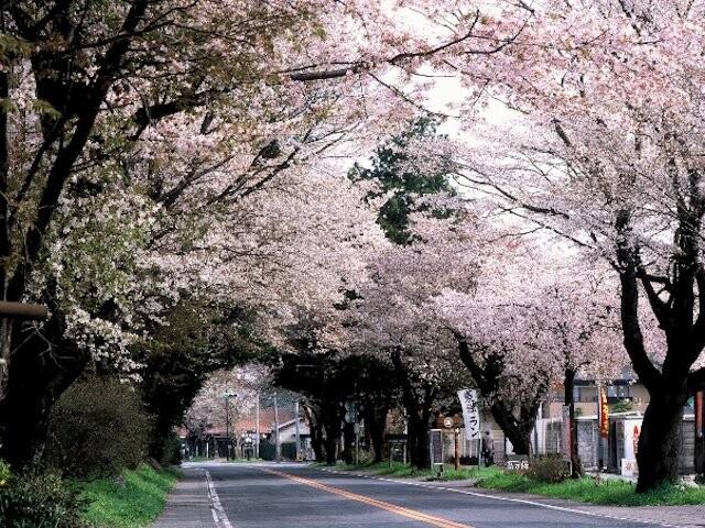 日光街道桜並木の写真