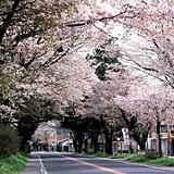 日光街道桜並木
