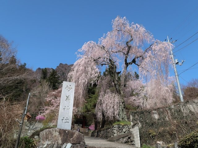妙義神社しだれ桜の写真
