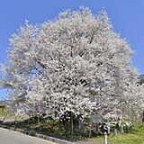宇木のエドヒガン(千歳桜)