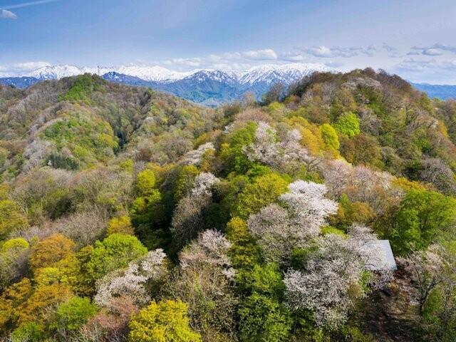 橡平サクラ樹林の写真