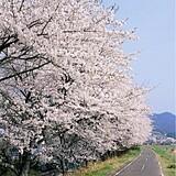 久慈川河川敷の桜並木