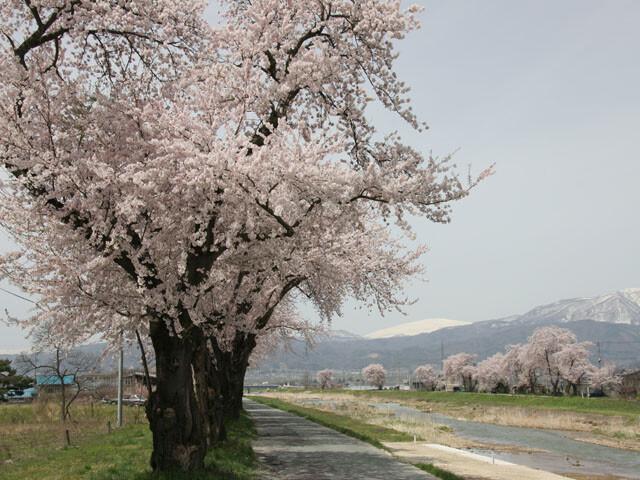 白水川堤防桜並木の写真
