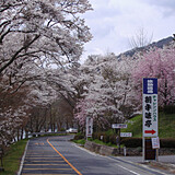 奥矢作湖畔桜並木