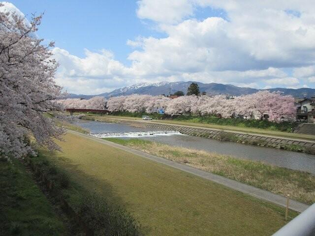 小矢部川公園千本桜の写真
