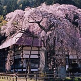 永泉寺のサクラ