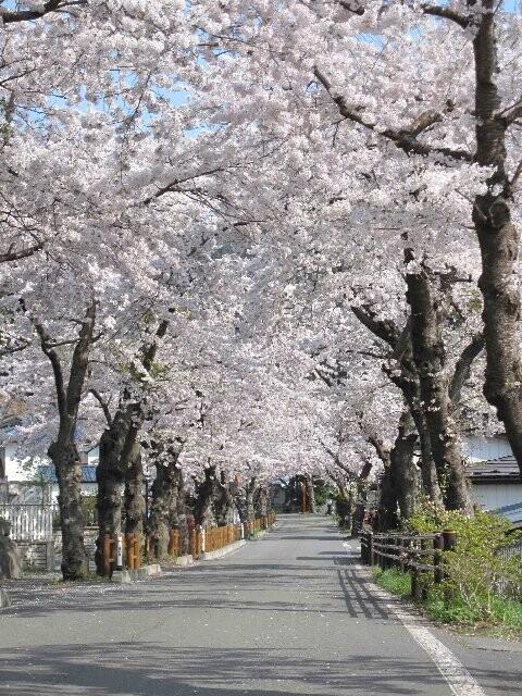 唐丹町本郷桜並木の写真