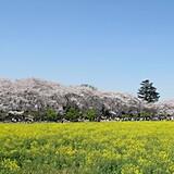 幸手権現堂桜堤(県営権現堂公園)