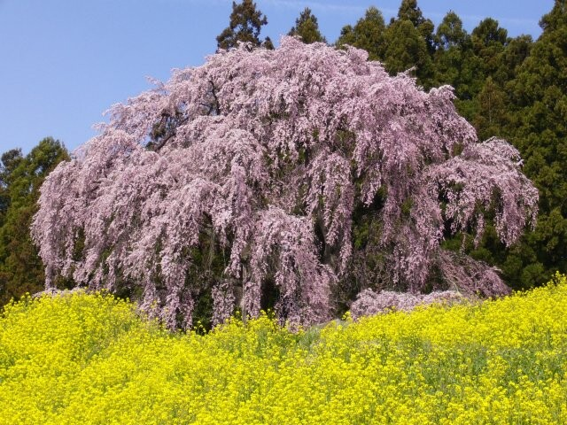 合戦場のしだれ桜の写真