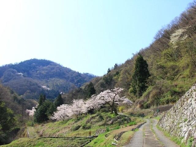 山の神千本桜の写真