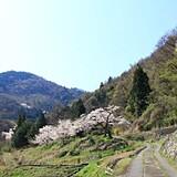 山の神千本桜