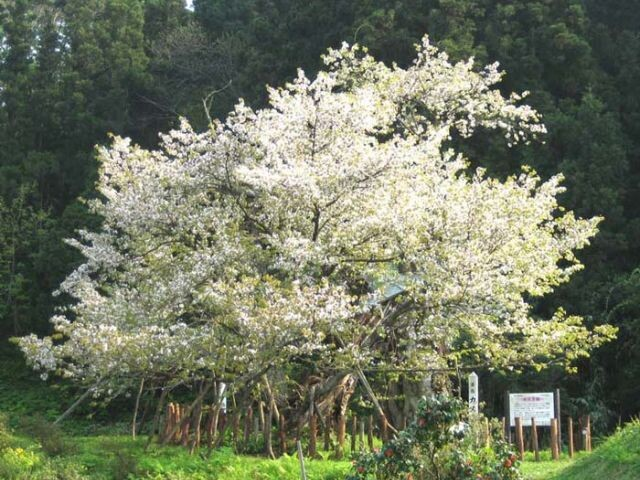 かすみ温泉(かすみ桜)の写真