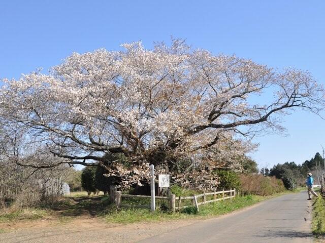 黄門桜の写真