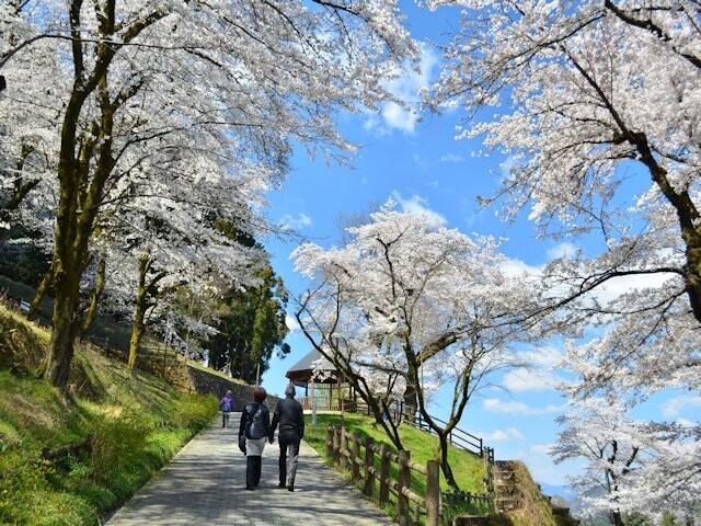 津久井湖城山公園周辺の桜の写真