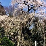 関場のしだれ桜