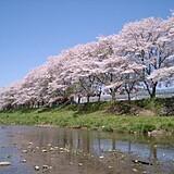 塩田耕地堤の桜