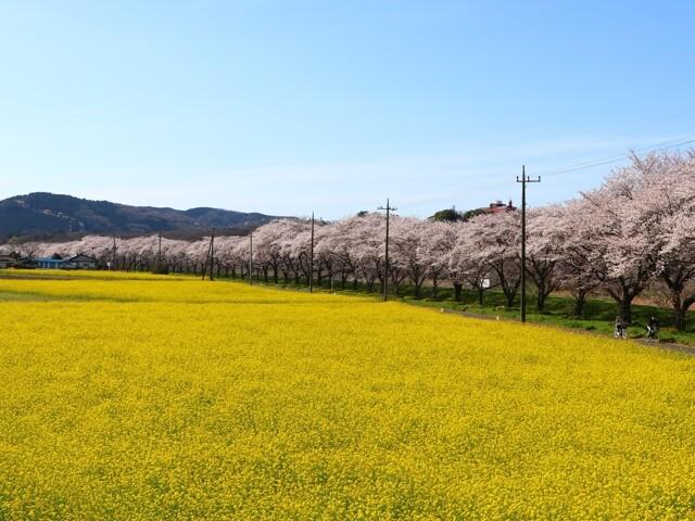 都幾川桜堤の写真