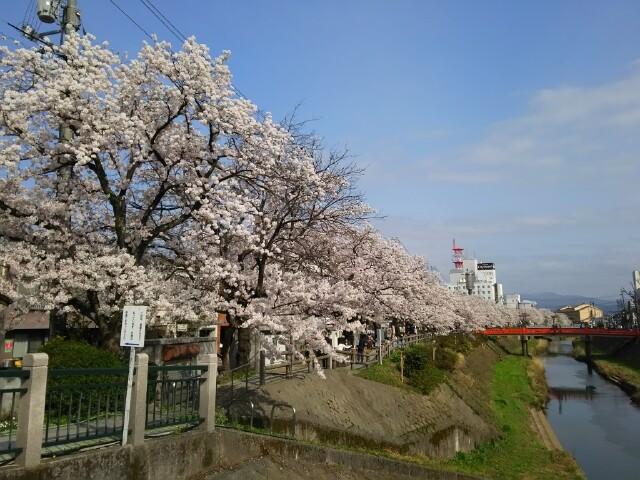 袋川桜土手の写真