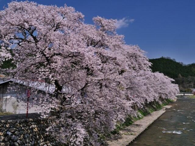美甘宿場桜の写真