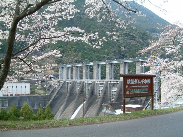 秋葉ダム千本桜の写真