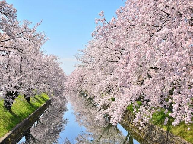 五条川の桜並木(大口町)の写真