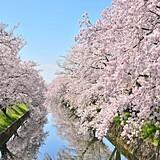 五条川の桜並木(大口町)