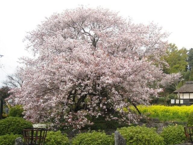 狩宿の下馬桜の写真