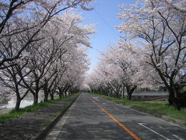 鍋田川堤桜並木の写真