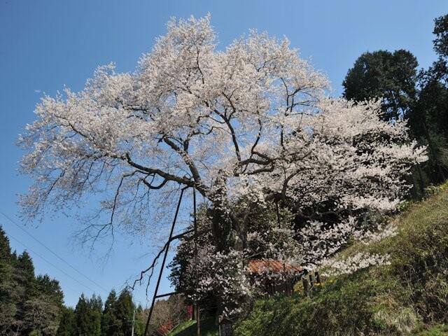 岩井畝の大桜の写真