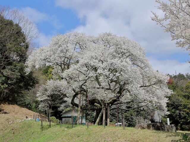 三隅大平桜の写真
