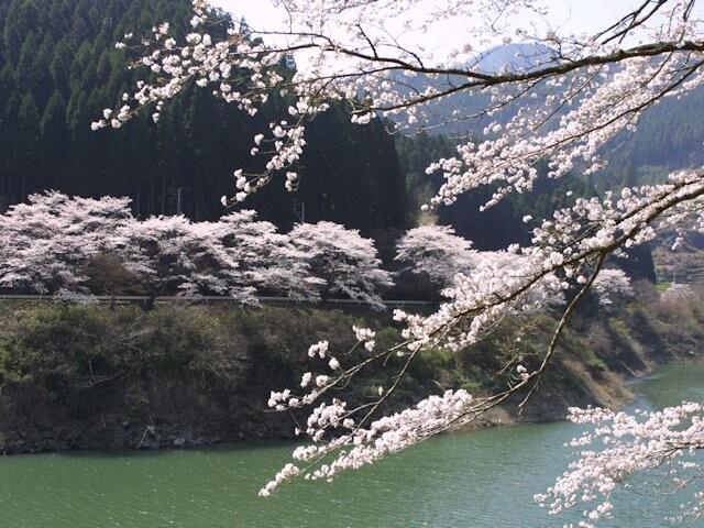 日向神ダムの「千本桜」の写真