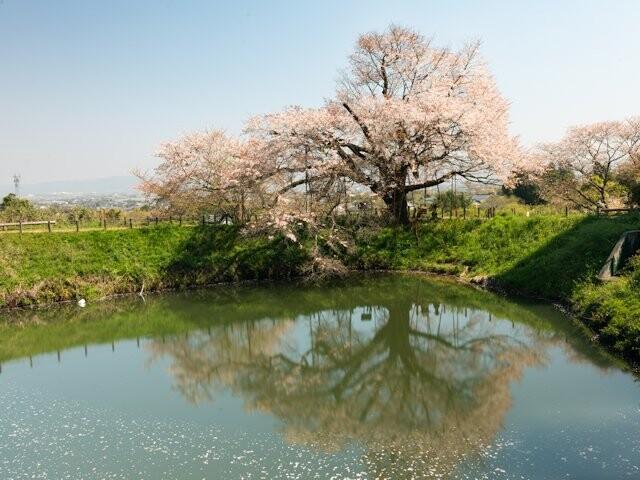 浅井の一本桜の写真