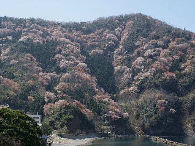 神子の山桜の写真