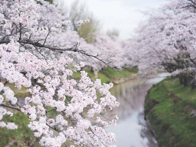 新境川堤の桜並木の写真
