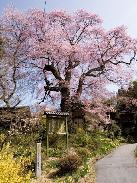 新田の桜の写真