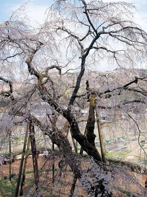 奥山田のしだれ桜の写真