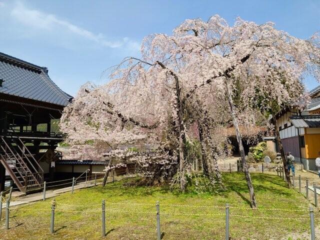 瑞龍寺のしだれ桜の写真