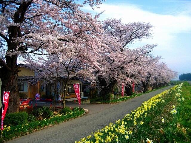 最上川堤防千本桜の写真