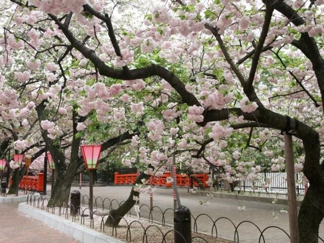 造幣局 桜の通り抜けの写真