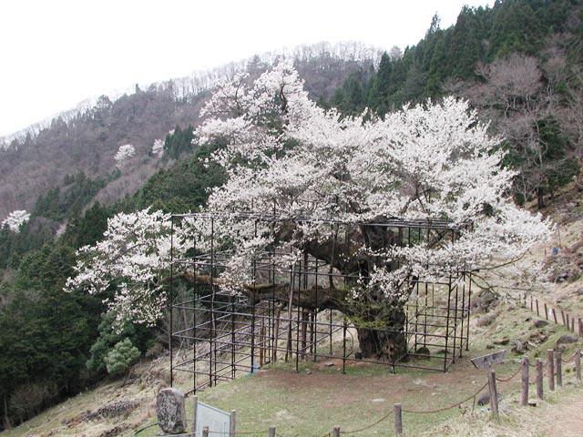 樽見の大桜の写真