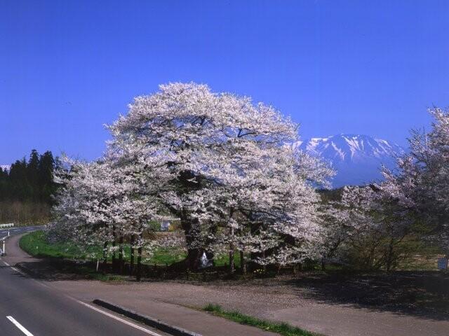 弘法桜の写真