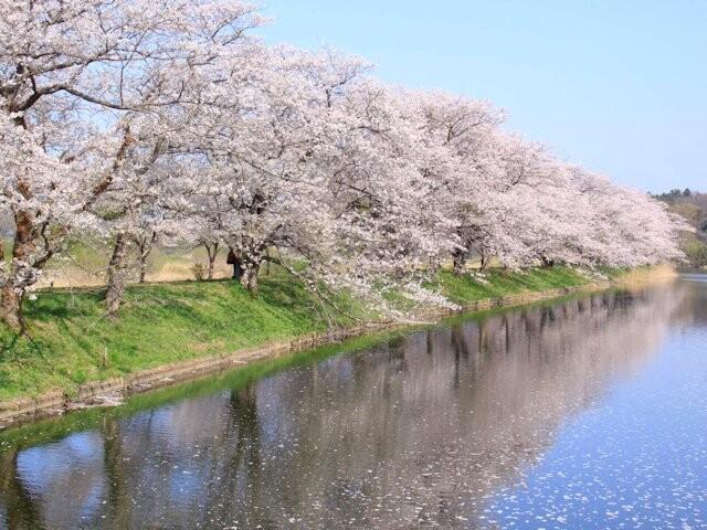 福岡堰の桜の写真